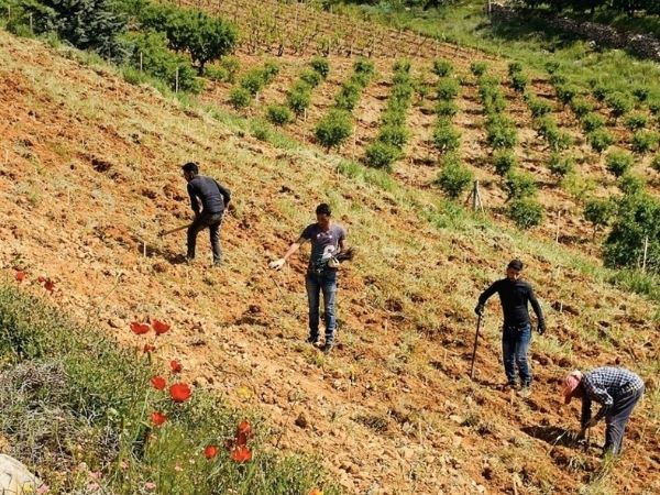 Picture: Planting in the age of Corona, part 2... Cabernet Franc and Cabernet Sauvignon on the slopes of Zahle