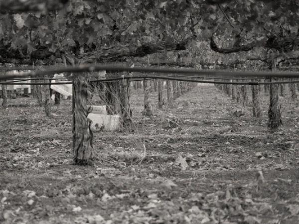 Hunter Glenn Estate Vineyard