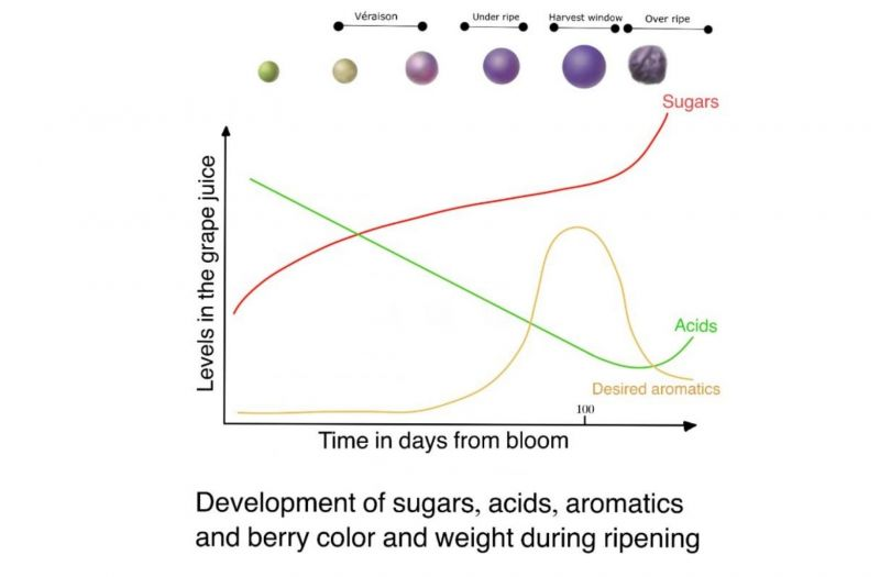 Photo for: Development of Sugars, Acids, Aromatics, and Berry Color & Weight During Ripening